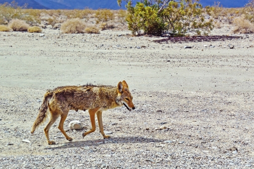 Coyote, not a fox