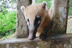 Cute little coati
