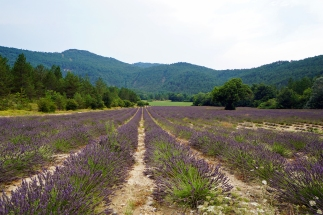 One of the only lavender fields that hadn't been harvested yet